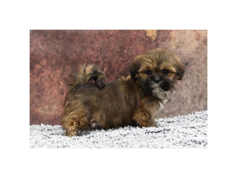 Lhasa Apso-Female-Golden / White-2218560-My Next Puppy