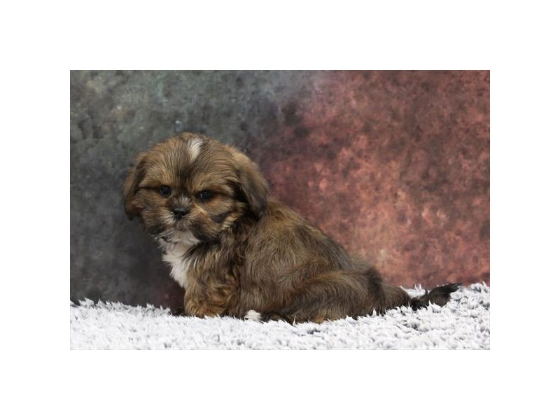 Lhasa Apso-Male-Golden / White-2218562-My Next Puppy