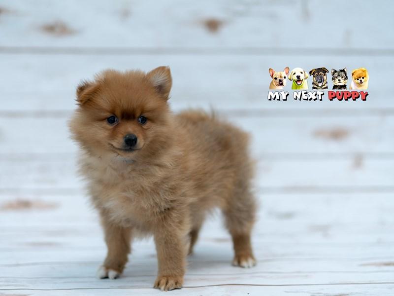Pomeranian-Male-Red-2201427-My Next Puppy