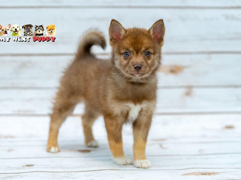 Pomsky 2nd Gen-Female-Brown-2206195-My Next Puppy