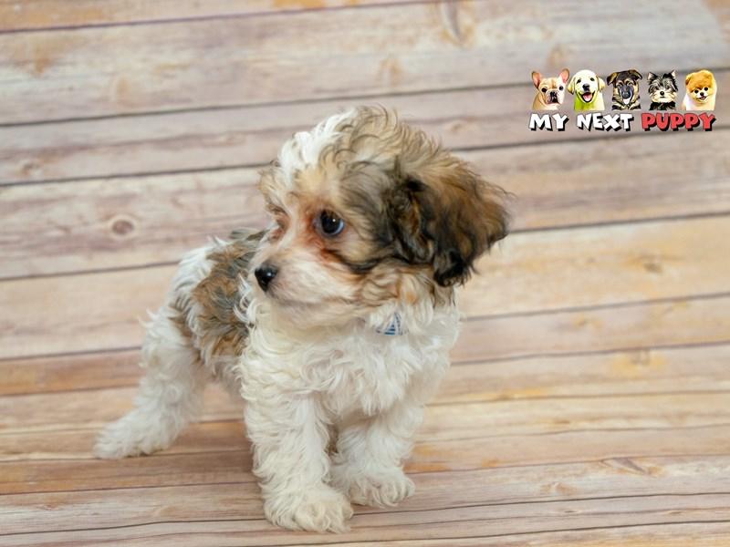 Havanese-Male-white-2214946-My Next Puppy