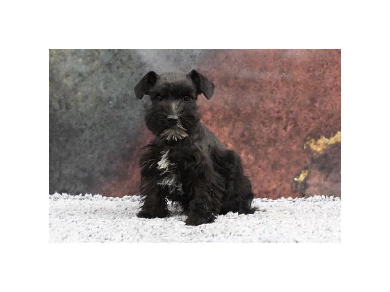Miniature Schnauzer-Female-Black-2218551-My Next Puppy