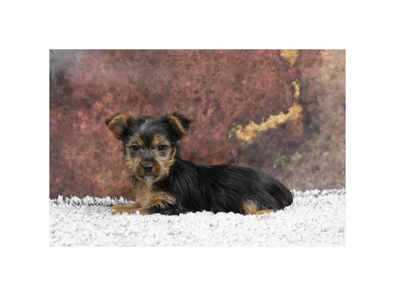 Silky Terrier-Female-Black / Tan-2218552-My Next Puppy