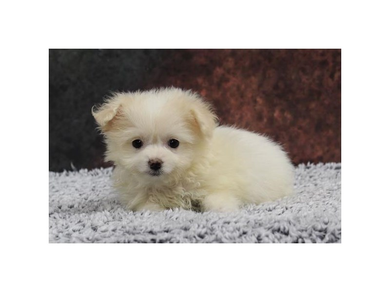 Pomeranian/Bichon-Female-Cream / White-2218557-My Next Puppy