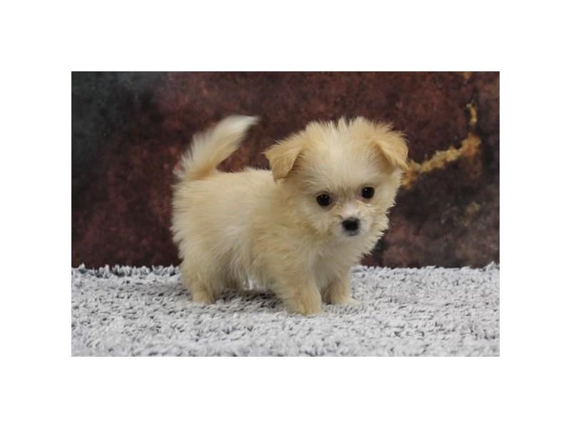 Pomeranian/Bichon-Male-Cream / White-2218559-My Next Puppy