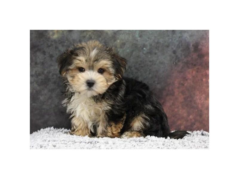 Maltese/Yorkie-Male-Black / Tan-2218563-My Next Puppy