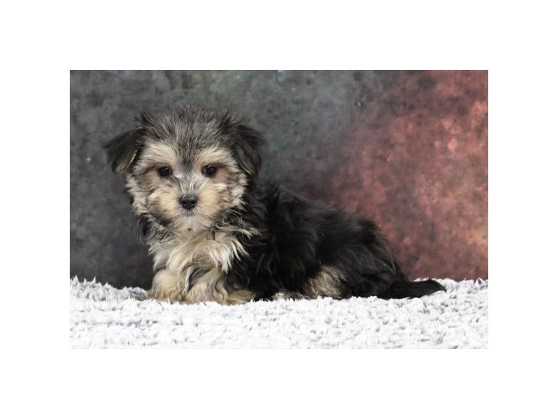 Maltese/Yorkie-Male-Black / Tan-2218565-My Next Puppy