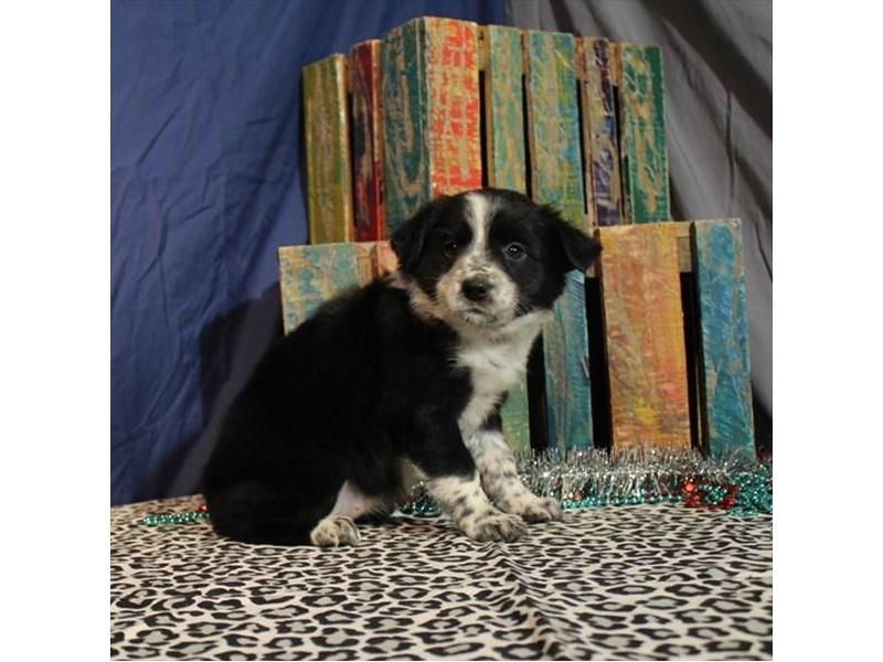 Australian Shep/Border Collie-Female-Black-2218571-My Next Puppy