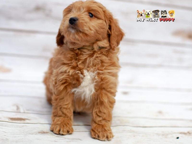 F1 Mini Golden Doodle-Male-Dark Golden-2219514-My Next Puppy