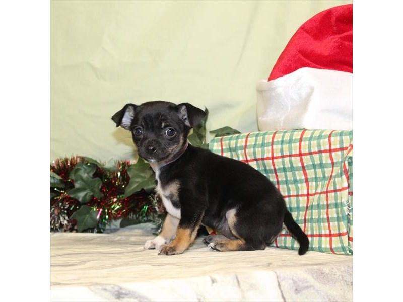 Chihuahua-Female-Black Tan / White-2223676-My Next Puppy