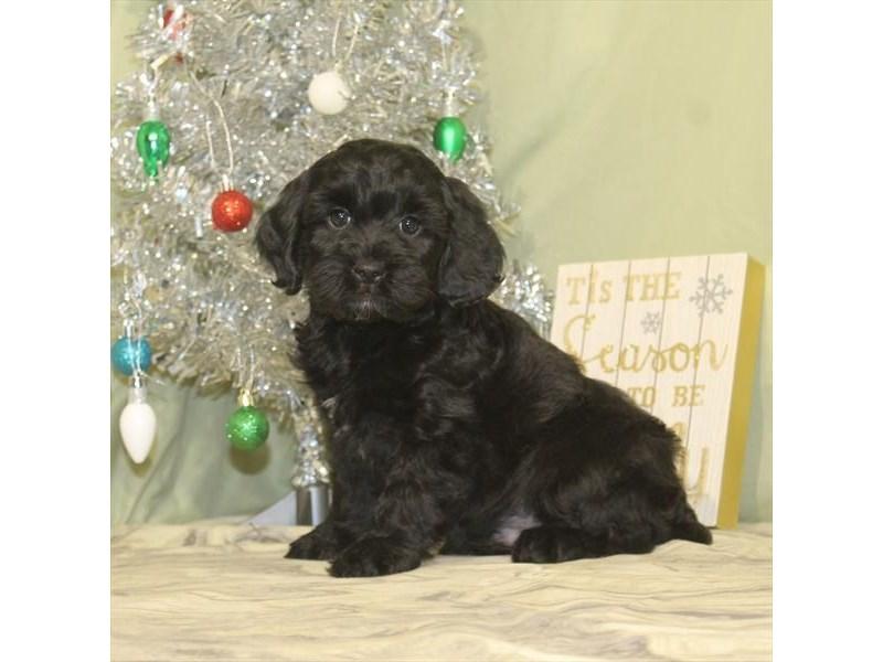 Cocker Spaniel / Poodle-Male-Black,White & Mkgs-2233890-My Next Puppy