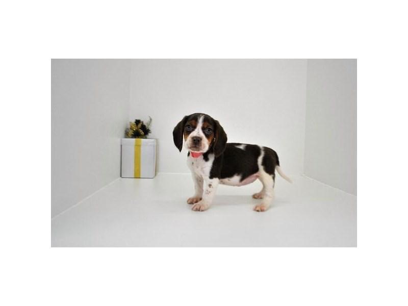 Beagle – Minnie