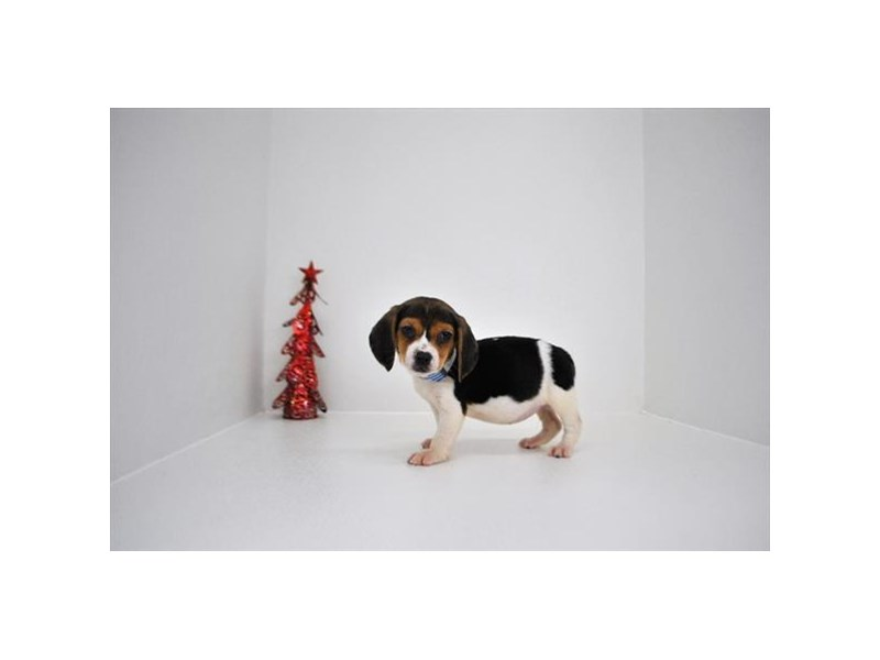 Beagle-Female-Black,White & Tan-2233834-My Next Puppy
