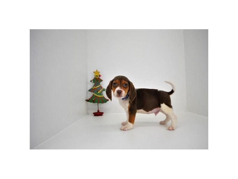 Beagle – Asher