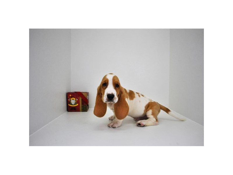 Basset Hound-Male-lmn & white-2233856-My Next Puppy