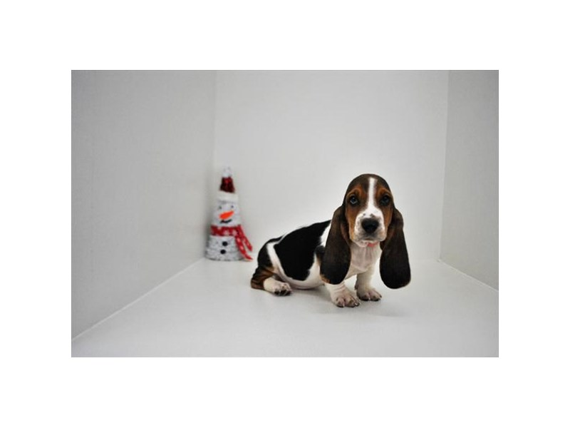 Basset Hound-Male-black white and tan-2233866-My Next Puppy
