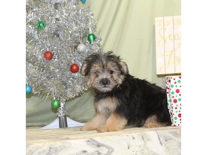 Maltese/Yorkie-Male-Black / Tan-2240153-My Next Puppy