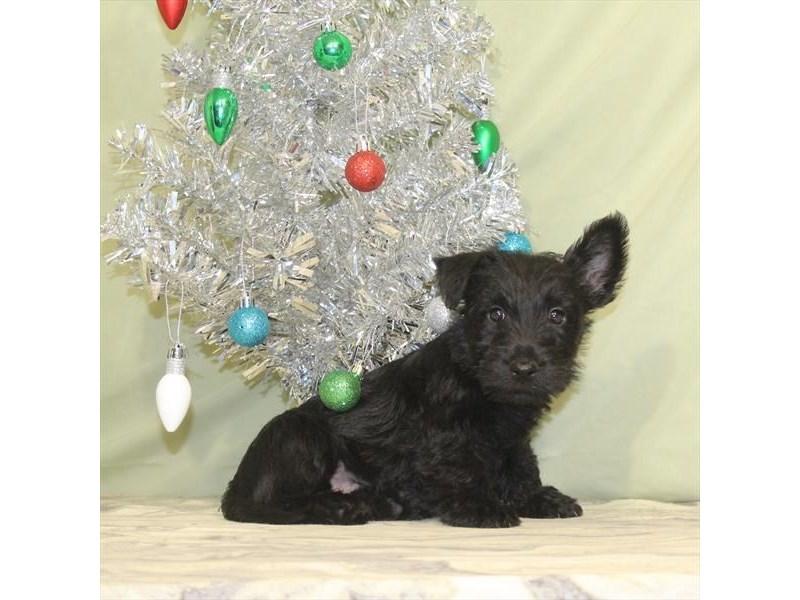 Scottish Terrier-Female-Black-2243615-My Next Puppy