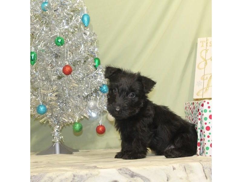 Scottish Terrier-Male-Black Brindle-2243616-My Next Puppy