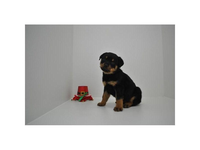 Rottweiler-Female-Black / Mahogany-2243632-My Next Puppy