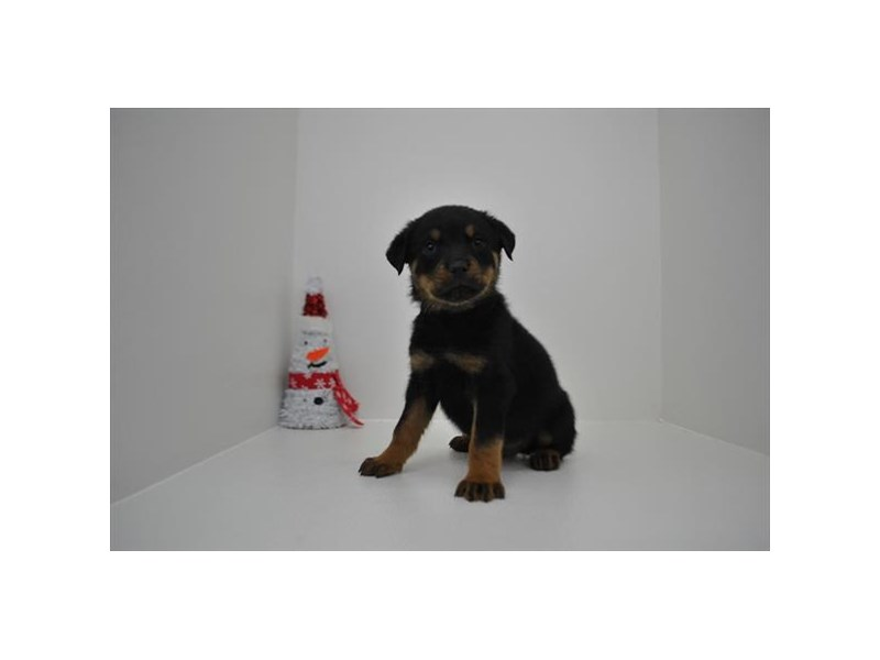 Rottweiler-Male-Black / Mahogany-2243635-My Next Puppy