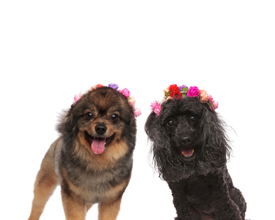 pomeranian and poodle