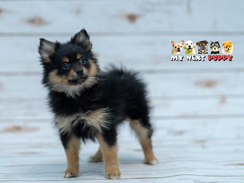 Pomeranian-Female-Black & Tan-2201436-My Next Puppy
