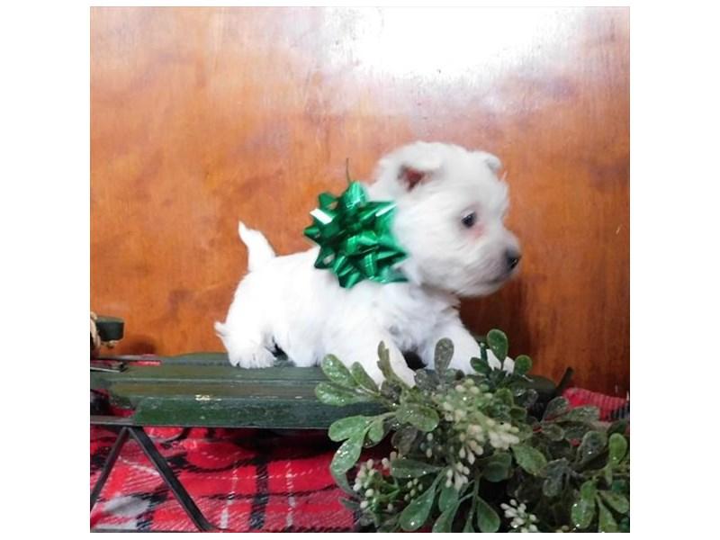 West Highland White Terrier-Female-White-2240345-My Next Puppy