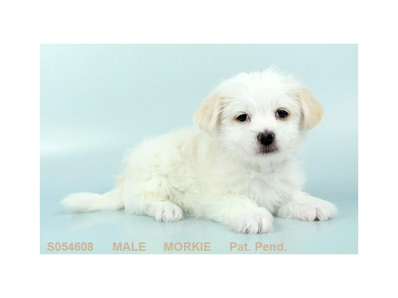 Morkie-Male-CR:PRTI-2242667-My Next Puppy