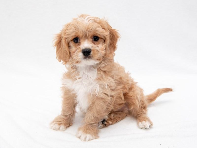 90+ Best Cavachon Puppies For Sale In Ontario Canada