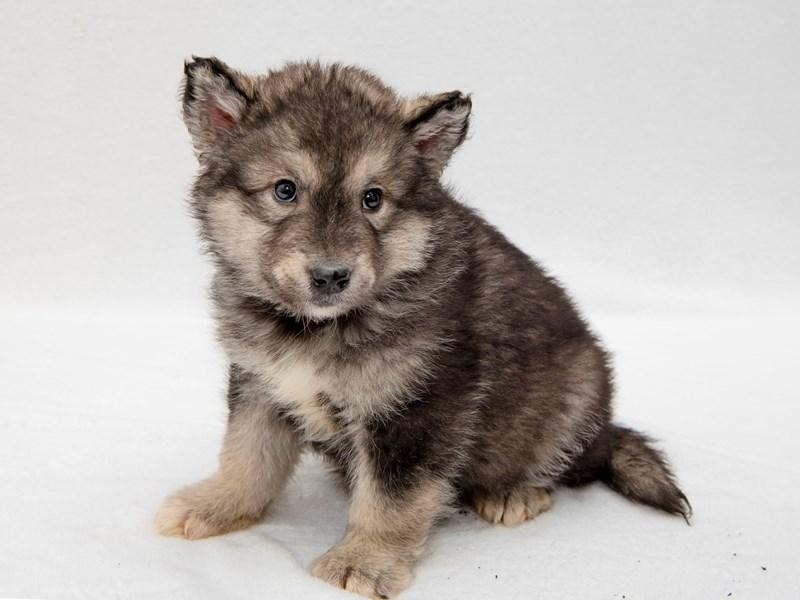 Alaskan Malamute-Female-black and white-2256537-My Next Puppy