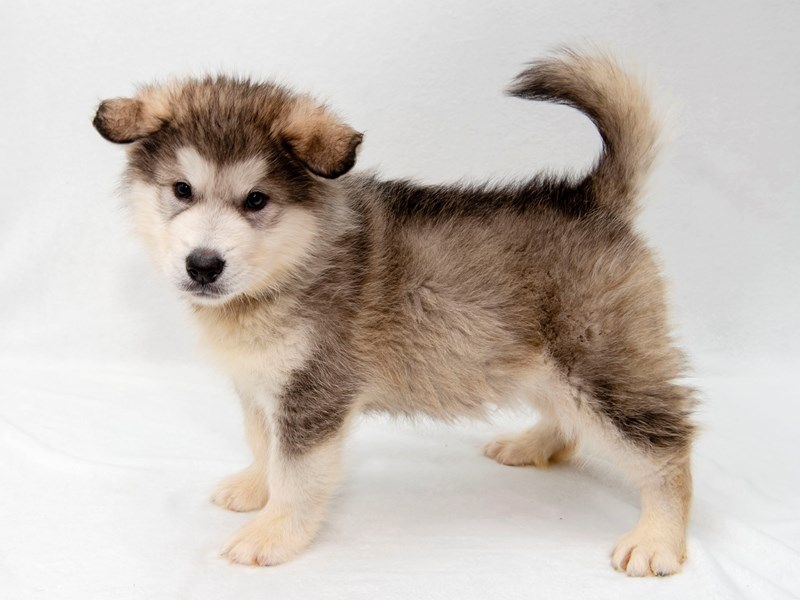 Alaskan Malamute-Male-sl & white-2256530-My Next Puppy