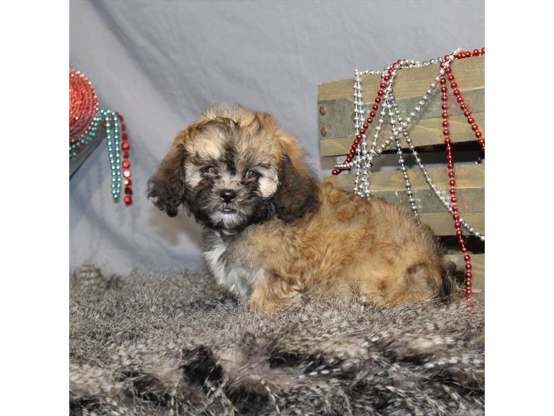 Shih Tzu/Poodle-Female-Gold-2248166-My Next Puppy