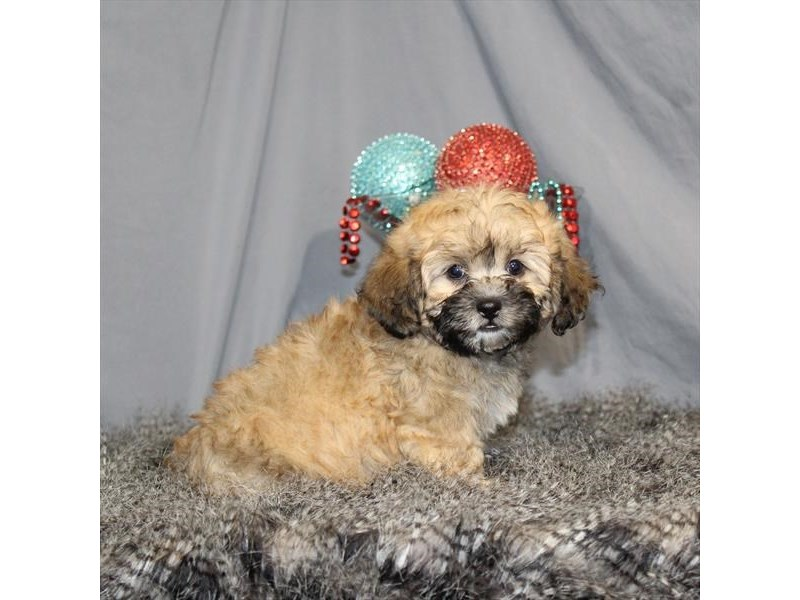 Shih Tzu/Poodle-Male-Gold-2248167-My Next Puppy