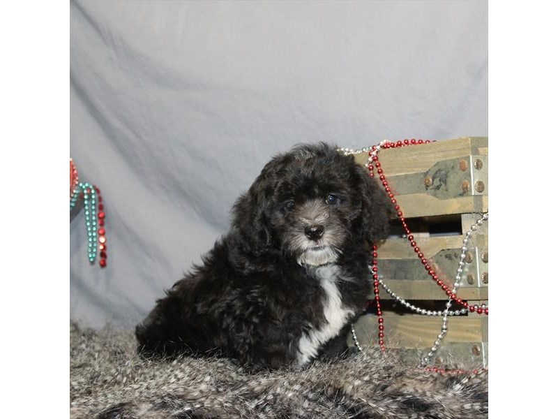 Shih Tzu/Poodle-Male-Black-2248168-My Next Puppy