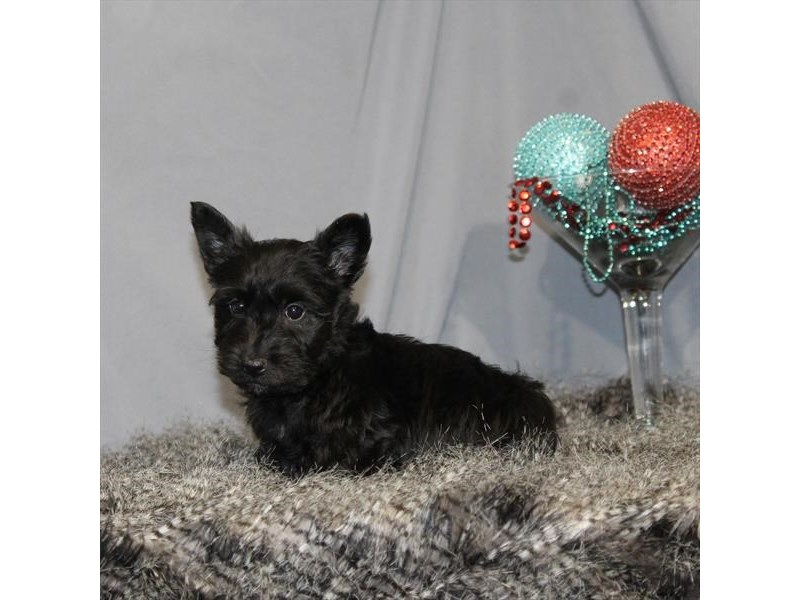 Scottish Terrier-Female-Black-2248173-My Next Puppy