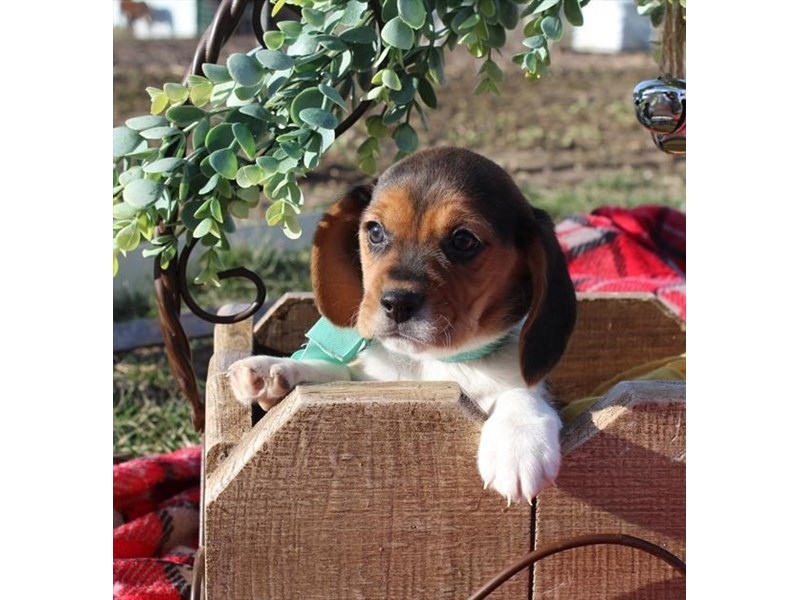 Beagle-Female-Tri-Colored-2248354-My Next Puppy