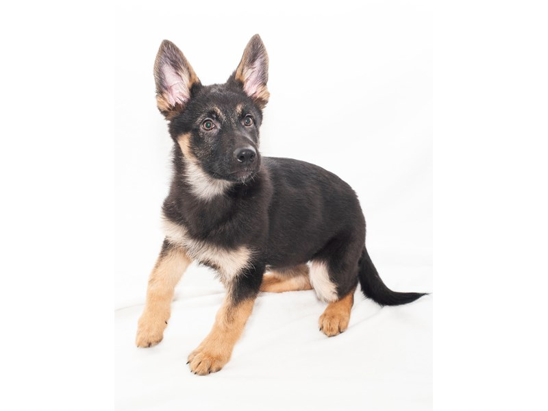 German Shepherd-Female-black and tan-2241884-My Next Puppy