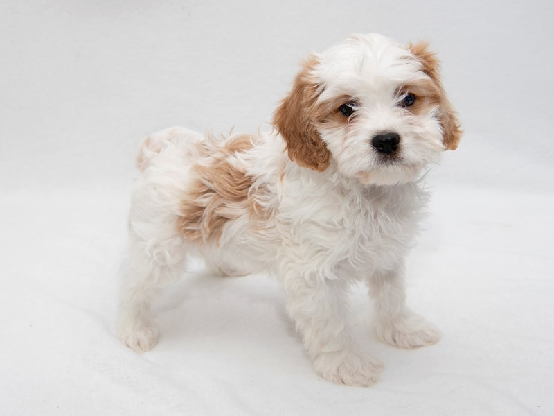 Cavachon-Female-Tan-White-2255634-My Next Puppy