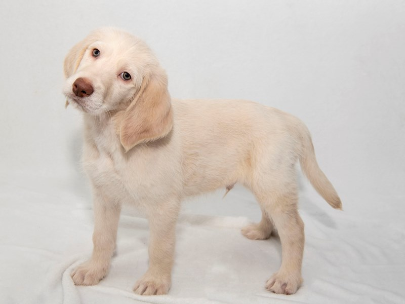 Labradoodle-Male-Cream-2256549-My Next Puppy