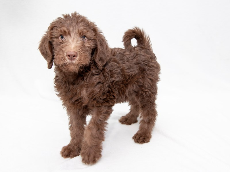 Labradoodle-Female-Chocolate-2256551-My Next Puppy