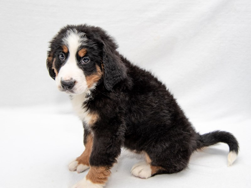 Bernese Mountain Dog-Female-Black Tan / White-2260684-My Next Puppy