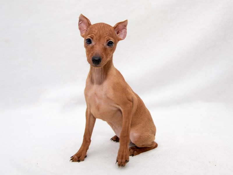 Miniature Pinscher-Female-red-2261868-My Next Puppy