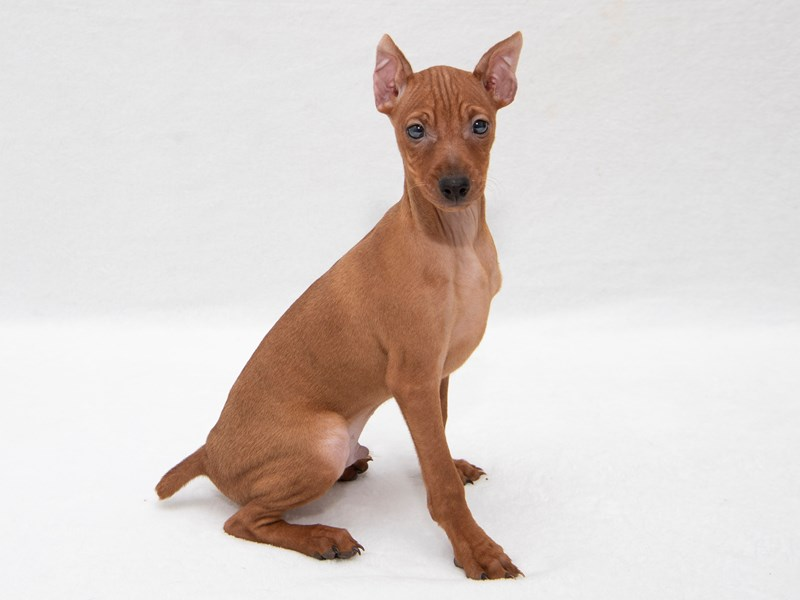 Miniature Pinscher-Male-red-2261877-My Next Puppy