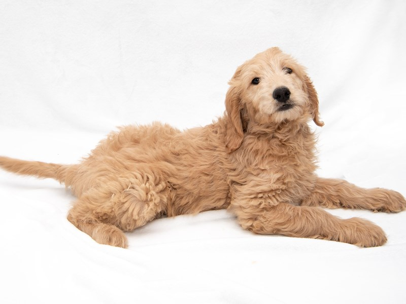 F1 Standard Goldendoodle-Male-Golden-2271845-My Next Puppy