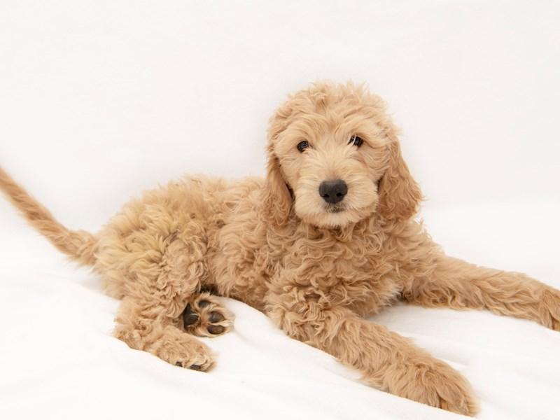 F1 Standard Goldendoodle-Female-Golden-2271846-My Next Puppy