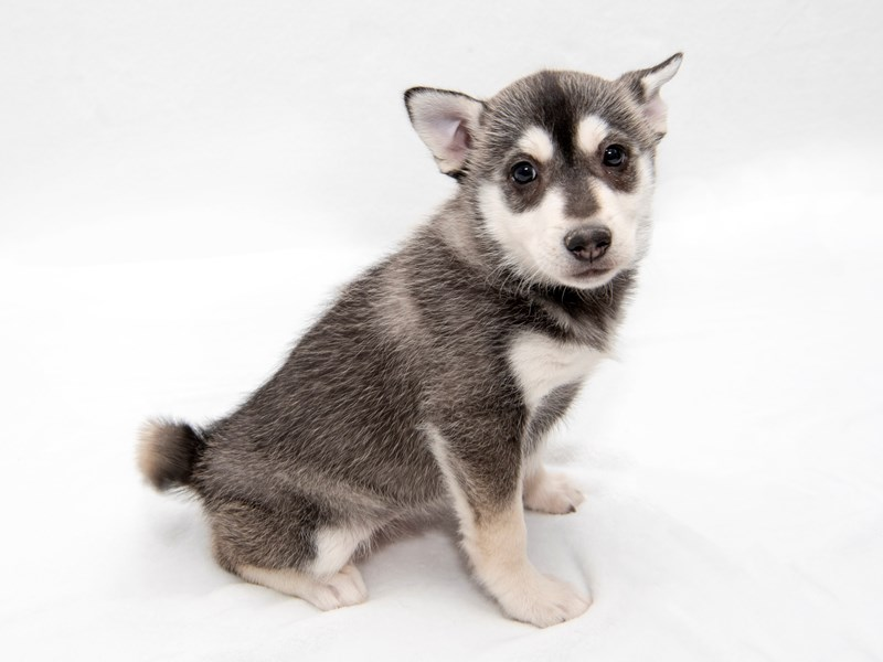 Pomsky-Female-Black Gray / White-2271186-My Next Puppy