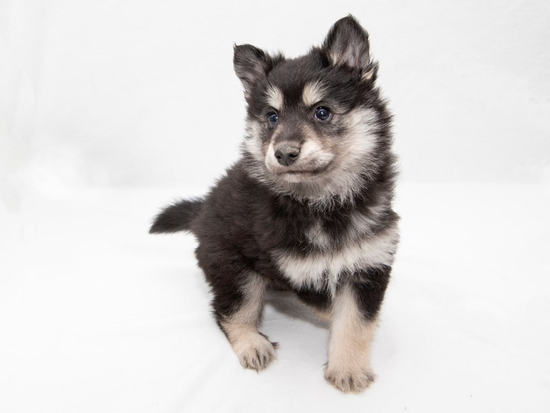 Pomsky-Male-Black / Tan-2271189-My Next Puppy