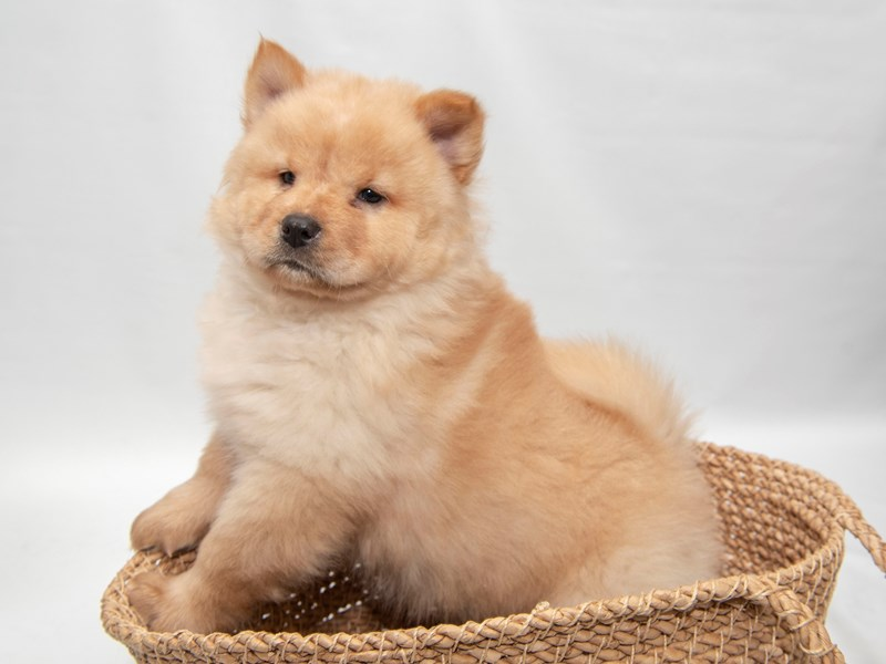Chow Chow-Female-Cinnamon-2280818-My Next Puppy
