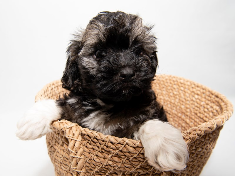 Havanese-Male-Gold Sable-2280816-My Next Puppy